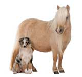 Palomino Shetland pony, Equus caballus, 3 years old, and Australian Shepherd puppy, 4 months old, in front of white background